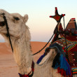 Stock Photo: Close-up of saddled camel in desert