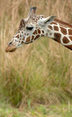 Zürafa başını — Stok fotoğraf