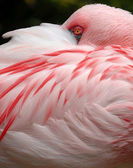 Mindre flamingo — Stockfoto