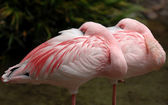 Lesser flamingo — Stock Photo