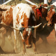 Rodeo bulls - Stock Photo