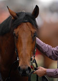 Race horse head — Stock Photo
