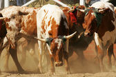 Rodeo bulls — Stock Photo