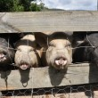 Stock Photo: Four Little Piggies