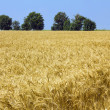 Cornfield — Stock Photo #3783443