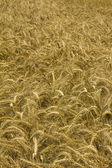 Wheat or cornfield — Stock Photo