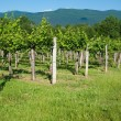 Vineyard in summer — Stock Photo