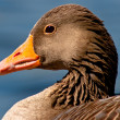 Detail of a goose - Stock Photo