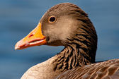 Detail of a goose — Stock Photo