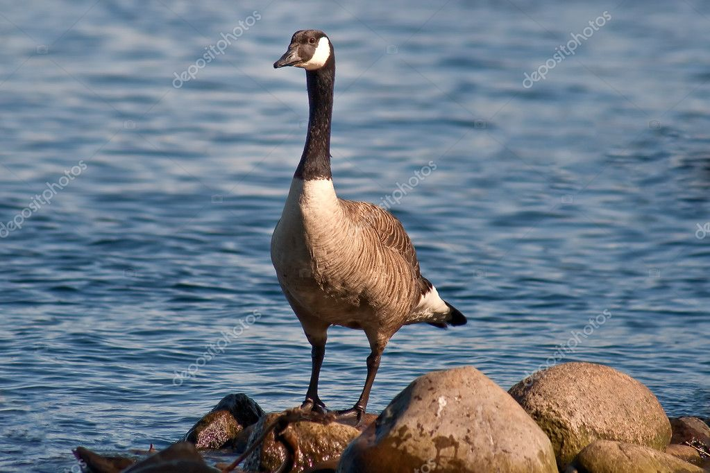 A canada goose on the Alster in Hamburg  Stock Photo #3655161