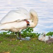 A swan family - Stock Photo