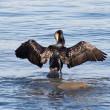 Cormorant — Stock Photo