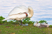 A swan family — Foto Stock