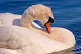 Alster-Swan — Stock Photo
