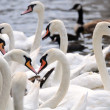 Alster swans — Stock Photo