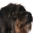 Shaggy dog on a white background - Stock Photo