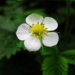 Strawberry flowers — Stock Photo #3715040