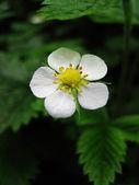 Strawberry flowers — Stock Photo