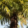 Palm — Stock Photo #3866383