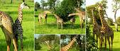 Zambia Giraffe — Stock Photo