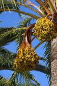 Palm tree - Palma de Mallorca - Balearic Islands — Stock Photo