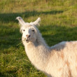 Stock Photo: White lama, eating and watching