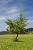 Young green tree, grass and beautiful sky — Stock Photo