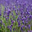 Flowers of lavender and flying bees — Stock Photo