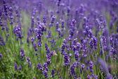 Bloemen van lavendel en vliegen bijen — Stockfoto