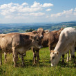 Cows on hills, beautiful sky — Stock Photo