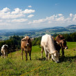 Cows on hills, beautiful sky — Stock Photo