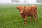 Harige koe op het gras op mistige ochtend — Stockfoto