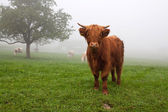 Hairy bull during the foggy day in the mountain pasture — Stock Photo