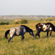 Wild Horses in Theodore Roosevelt National Park — Stock Photo #3580219