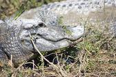 Resting Alligator — Stock Photo
