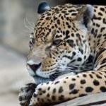 Jaguar — Stok fotoğraf #3576777