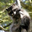 Stock Photo: Curious raccoon
