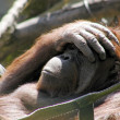 Thoughtful orangutan in hammock - Stock Photo