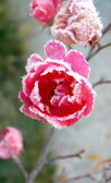 Rose covered by ice crystals — Stock Photo