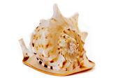 Amazing giant vibrant shell — Stock Photo