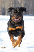 The Rottweiler runs — Stock Photo