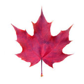 Maple leaf on white — Stockfoto