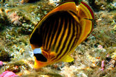 Chaetodon fasciatus — Stock Photo