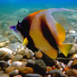 Stock Photo: Pennant coralfish (bannerfish)
