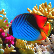 Threadfin butterflyfish (Chaetodon auriga) coral — Stock Photo