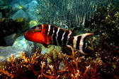 Red-breasted Wrasse (Cheilinus fasciatus) — Stock Photo