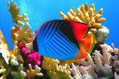 Threadfin butterflyfish (Chaetodon auriga) coral — Stock Photo