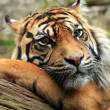 Stock Photo: Amur or SiberiTiger.