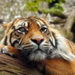 Amur Tiger. — Stock Photo