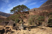 Escoceses pinheiros em glen nevis. — Fotografia Stock